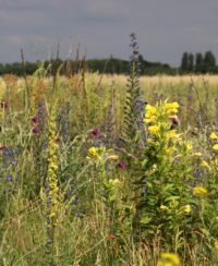 Wildpflanzen auf dem Tempelhofer Feld